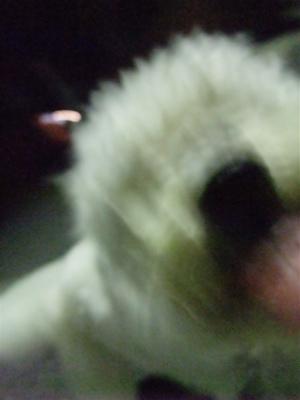 ビションフリーゼブリーダー東京フントヒュッテ犬グッズフレキシリード伸縮リードflexi伸縮自在のリード自由お散歩犬吉祥寺文京区トリミングビションカット4.jpg