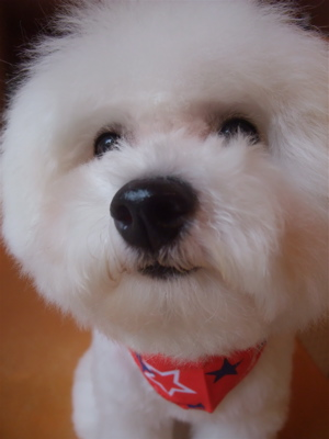 フントヒュッテ東京ビションフリーゼブリーダービションカット文京区トリミングアフロカットアフロ犬犬泉くんはんな先輩安田美沙子たまごちゃんランコ犬グッズd.jpg