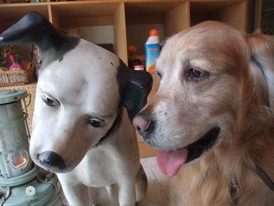 ゴールデン・レトリーバーシャンプー文京区ゴールデントリミングビションカットフントヒュッテ東京ビションニッパー店舗ディスプレイビクター犬NIPPER3.jpg