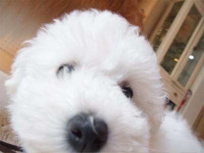 ゴールデン・レトリーバーシャンプー文京区ゴールデントリミングビションカットフントヒュッテ東京ビションフリーゼブリーダー子犬情報出産こいぬhundehutte2.jpg