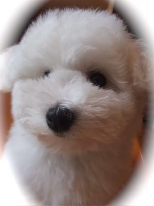 フントヒュッテ東京ビションフリーゼブリーダー子犬情報こいぬビションカット文京区トリミングこいぬのはじめてのシャンプー志村けん天才!志村どうぶつ園10.jpg