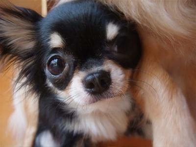 チワワシャンプーフントヒュッテビションフリーゼブリーダー東京ビションカット文京区トリミングチワワカットジェルパック犬ハーブパック犬の歯磨きhundehutte8.jpg
