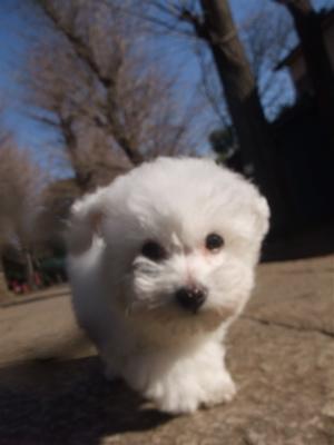 ビションフリーゼこいぬ情報子犬フントヒュッテ東京ビションフリーゼカットトリミング文京区hundehuttemarimekkoマリメッコキャリーバッグDDlabディディラボ2.jpg