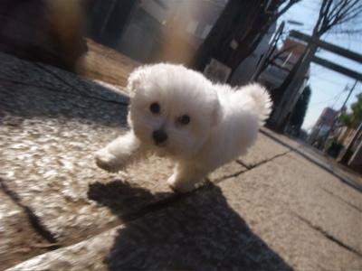 ビションフリーゼこいぬ情報子犬フントヒュッテ東京ビションフリーゼカットトリミング文京区hundehuttemarimekkoマリメッコキャリーバッグDDlabディディラボ3.jpg