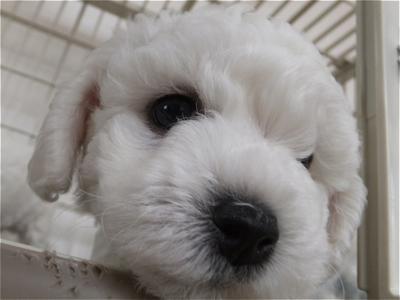 フントヒュッテビションフリーゼ東京ノーフォークテリア子犬hundehutteビションフリーゼトリミング文京区ビションカットビションフリーゼこいぬ子犬情報出産情報1.jpg