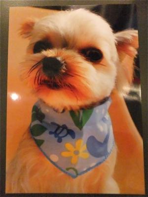 お誕生日犬バースデーケーキ東京フントヒュッテビションフリーゼトリミング文京区ノーフォークテリアブリーダーこいぬ子犬hundehutteビションフリーゼのいるお店4.jpg
