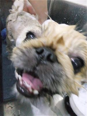 ペキニーズサマーカットペキニーズトリミング文京区フントヒュッテビションフリーゼ東京ノーフォークテリアブリーダー子犬hundehutteドッグキャリーバッグ1.jpg