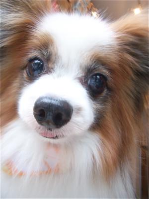 パピヨントリミング文京区フントヒュッテビションフリーゼ東京ノーフォークテリアブリーダー子犬情報パピヨンカットhundehutteマリメッコキャリーバッグ犬1.jpg