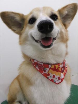 コーギートリミング文京区フントヒュッテビションフリーゼ東京ノーフォークテリアブリーダー子犬情報コーギーサマーカットhundehutteマリメッコキャリーバッグ犬1.jpg