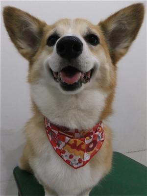 コーギートリミング文京区フントヒュッテビションフリーゼ東京ノーフォークテリアブリーダー子犬情報コーギーサマーカットhundehutteマリメッコキャリーバッグ犬2.jpg