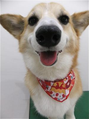 コーギートリミング文京区フントヒュッテビションフリーゼ東京ノーフォークテリアブリーダー子犬情報コーギーサマーカットhundehutteマリメッコキャリーバッグ犬4.jpg