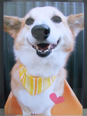 コーギートリミング文京区フントヒュッテビションフリーゼ東京ノーフォークテリアブリーダー子犬情報コーギーサマーカットhundehutte犬用バースデーケーキ1.jpg