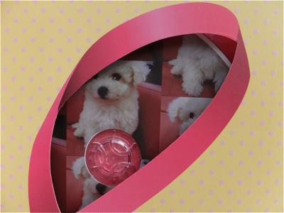 hundehutteビションフリーゼ東京ノーフォークテリア子犬フントヒュッテビションフリーゼトリミング文京区ビションカットビションフリーゼこいぬ子犬情報出産情報3.jpg
