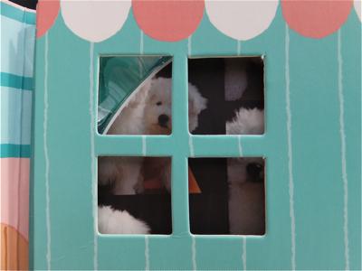 hundehutteビションフリーゼ東京ノーフォークテリア子犬フントヒュッテビションフリーゼトリミング文京区ビションカットビションフリーゼこいぬ子犬情報出産情報8.jpg
