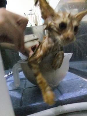 保護猫里親募集里親さん募集中野良猫迷子猫保護猫掲示板いつでも里親募集中東京フントヒュッテ文京区トリミングビションカットhundehutte猫シャンプー猫トリミング15.jpg