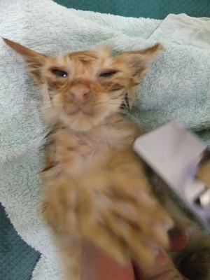 保護猫里親募集里親さん募集中野良猫迷子猫保護猫掲示板いつでも里親募集中東京フントヒュッテ文京区トリミングビションカットhundehutte猫シャンプー猫トリミング34.jpg