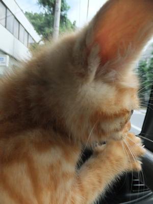 保護猫里親募集里親さん募集中野良猫迷子猫保護猫掲示板いつでも里親募集中東京フントヒュッテ文京区トリミングビションフリーゼカット猫トリミングhundehutte4.jpg