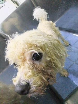 ビションフリーゼトリミング文京区ビションフリーゼカットフントヒュッテビションフリーゼ子犬東京ノーフォークテリア子犬hundehutte犬ハーブパック効果2.jpg