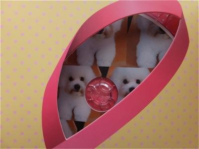 ビションフリーゼトリミング文京区ビションフリーゼカットフントヒュッテビションフリーゼ子犬情報東京hundehutteバースデープレゼントCDギフトケース4.jpg