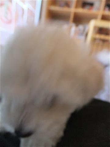 フントヒュッテビションフリーゼ東京ビションフリーゼトリミング文京区ビションフリーゼカットビションフリーゼこいぬ子犬情報ビション出産情報hundehutte25.jpg