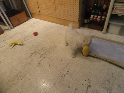 フントヒュッテビションフリーゼ東京ビションフリーゼトリミング文京区ビションフリーゼカットビションフリーゼこいぬ子犬情報ビション出産情報hundehutte38.jpg