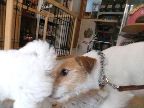 フントヒュッテビションフリーゼ東京ビションフリーゼトリミング文京区ビションフリーゼカットビションフリーゼこいぬ子犬情報ビション出産情報hundehutte105.jpg