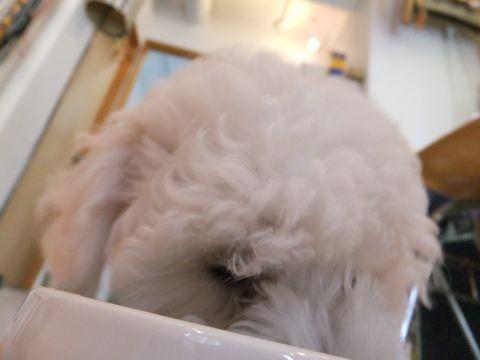 フントヒュッテビションフリーゼ東京ビションフリーゼトリミング文京区ビションフリーゼカットビションフリーゼこいぬ子犬情報ビション出産情報hundehutte122.jpg
