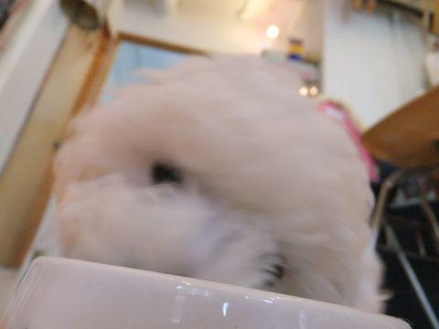 フントヒュッテビションフリーゼ東京ビションフリーゼトリミング文京区ビションフリーゼカットビションフリーゼこいぬ子犬情報ビション出産情報hundehutte123.jpg