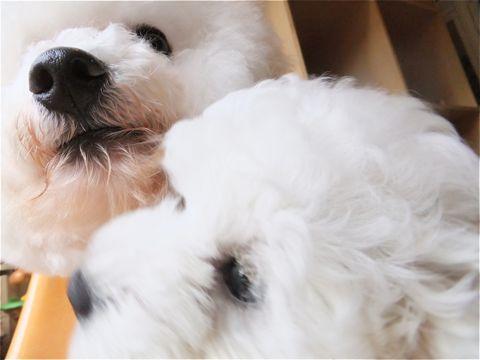 フントヒュッテビションフリーゼ東京ビションフリーゼトリミング文京区ビションフリーゼカットビションフリーゼこいぬ子犬情報ビション出産情報hundehutte125.jpg