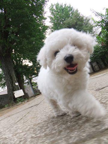 フントヒュッテビションフリーゼ東京ビションフリーゼトリミング文京区ビションフリーゼカットビションフリーゼこいぬ子犬情報ビション出産情報hundehutte132.jpg