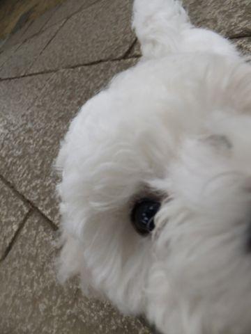 フントヒュッテビションフリーゼ東京ビションフリーゼトリミング文京区ビションフリーゼカットビションフリーゼこいぬ子犬情報ビション出産情報hundehutte141.jpg
