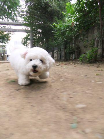 フントヒュッテビションフリーゼ東京ビションフリーゼトリミング文京区ビションフリーゼカットビションフリーゼこいぬ子犬情報ビション出産情報hundehutte142.jpg