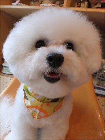 ビションフリーゼトリミング文京区ビションフリーゼカットフントヒュッテビションフリーゼこいぬ子犬東京hundehutte犬トリミングハーブパック犬歯磨き歯石除去2.jpg