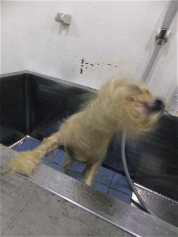 ビションフリーゼトリミング文京区ビションフリーゼカットフントヒュッテビションフリーゼこいぬ子犬東京hundehutte犬のトリミングハーブパック犬歯磨き歯石除去4.jpg