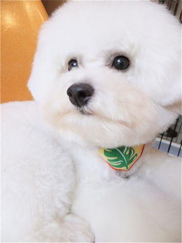 ビションフリーゼトリミング文京区ビションフリーゼカットフントヒュッテビションフリーゼこいぬ子犬東京hundehutte犬のトリミングハーブパック犬歯磨き歯石除去7.jpg