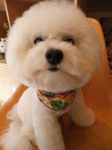 ビションフリーゼトリミング文京区ビションフリーゼカットフントヒュッテビションフリーゼこいぬ子犬東京hundehutte犬のトリミングハーブパック犬歯磨き歯石除去9.jpg