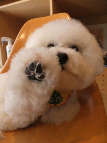 ビションフリーゼトリミング文京区ビションフリーゼカットフントヒュッテビションフリーゼこいぬ子犬東京hundehutte犬のトリミングハーブパック犬歯磨き歯石除去a.jpg