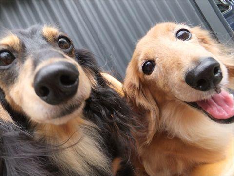 ダックスフンドトリミング文京区ダックスフンド多頭飼いビションフリーゼカットフントヒュッテビションフリーゼこいぬ子犬東京hundehutte犬のトリミング1.jpg