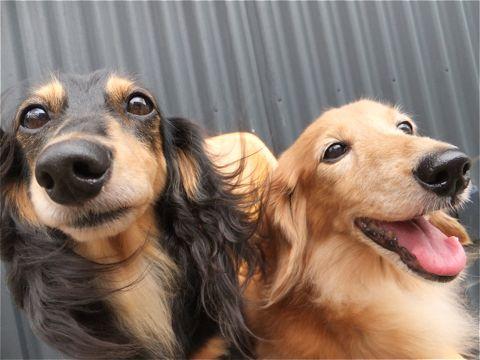 ダックスフンドトリミング文京区ダックスフンド多頭飼いビションフリーゼカットフントヒュッテビションフリーゼこいぬ子犬東京hundehutte犬のトリミング2.jpg