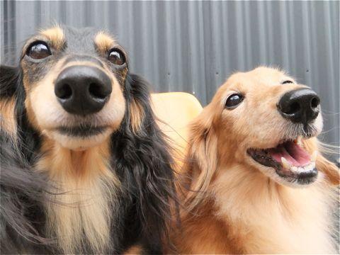 ダックスフンドトリミング文京区ダックスフンド多頭飼いビションフリーゼカットフントヒュッテビションフリーゼこいぬ子犬東京hundehutte犬のトリミング3.jpg