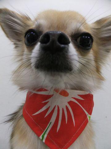 チワワトリミング文京区チワワシャンプーチワワカットフントヒュッテビションフリーゼ子犬東京hundehutte犬のトリミング犬ハーブパック犬歯磨き犬デンタルケア20.jpg