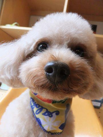 トイ・プードルトリミング文京区プードルカットフントヒュッテビションフリーゼ子犬東京hundehutte犬のトリミング犬ハーブパックトイ・プードルベアカット3.jpg