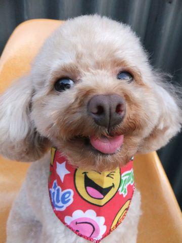 トイ・プードルトリミング文京区プードルカットフントヒュッテビションフリーゼ子犬東京hundehutte犬のトリミング犬ハーブパックトイ・プードルベアカットa.jpg