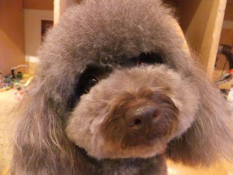 トイ・プードルトリミング文京区プードルカットフントヒュッテビションフリーゼ子犬東京hundehutte犬のトリミング犬ハーブパックトイ・プードルベアカットc.jpg