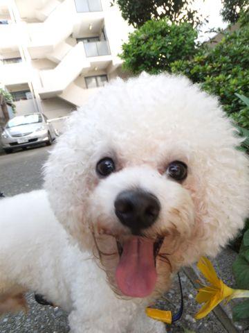 犬のホテル犬のおあずかりペットホテル文京区ビションフリーゼトリミングビションカットhundehutte東京フントヒュッテビションフリーゼ赤ちゃん情報ビションこいぬ5.jpg