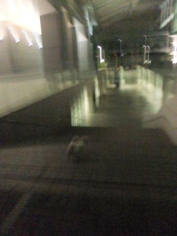 犬おあずかり犬ホテル東京ペットホテル文京区フントヒュッテビションフリーゼ東京ビションフリーゼトリミング文京区ビションフリーゼカット5.jpg