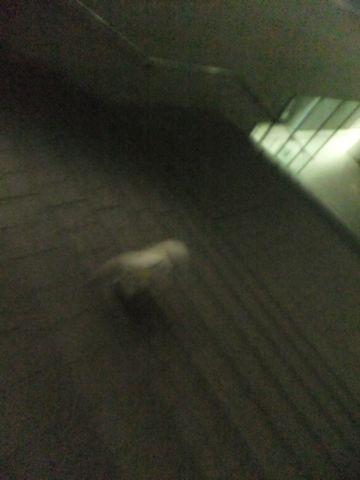 犬おあずかり犬ホテル東京ペットホテル文京区フントヒュッテビションフリーゼ東京ビションフリーゼトリミング文京区ビションフリーゼカット6.jpg
