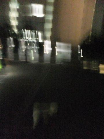 犬おあずかり犬ホテル東京ペットホテル文京区フントヒュッテビションフリーゼ東京ビションフリーゼトリミング文京区ビションフリーゼカット13.jpg