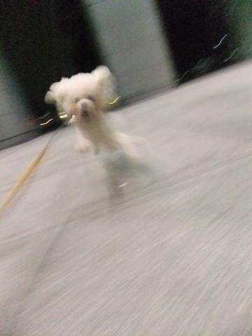 犬おあずかり犬ホテル東京ペットホテル文京区フントヒュッテビションフリーゼ東京ビションフリーゼトリミング文京区ビションフリーゼカット18.jpg