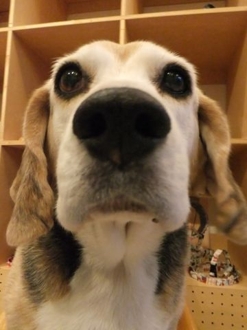 ビーグルトリミング文京区フントヒュッテビーグルシャンプー東京hundehutte犬トリミングナノオゾンペットシャワーデンタルケア犬歯磨き2.jpg